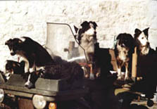 Some of Calamankey's seven sheepdogs