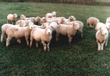 Calamankey Sheep